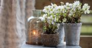 Tuinplant van de Maand december: Kerstroos