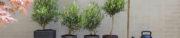 Olijf is tuinplant van de maand juli
